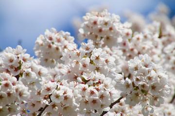 夏井川の千本桜(福島県・小野町)