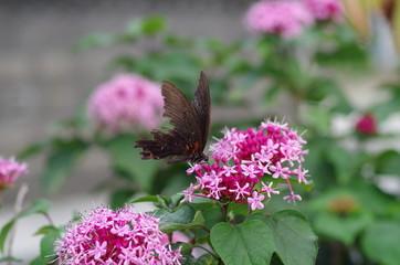 花と黒アゲハ2