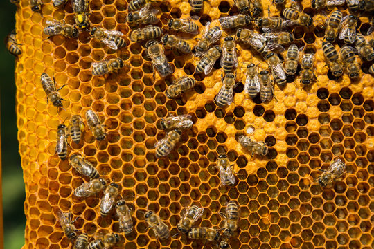 bees swarm on a frame with honey