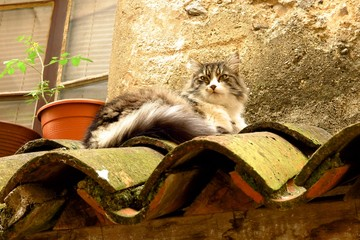 longhaired tabby cat on tile roof