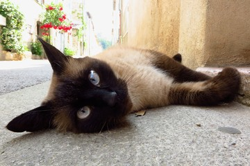 Siamese cat with blue eyes lying on village street looking at camera