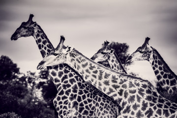 Beautiful wild giraffes