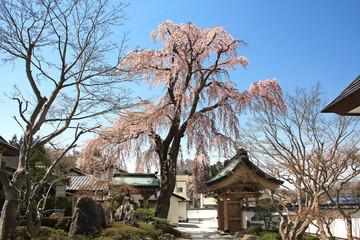 法華寺の枝垂れ桜(福島県・三春町)