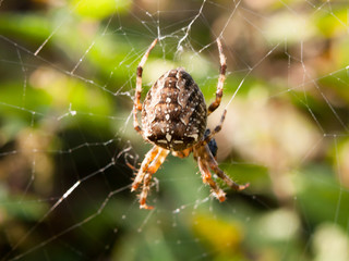 common garden spider close up outside on cob web hanging