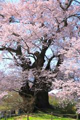 塩ノ崎大桜(福島県・本宮市)