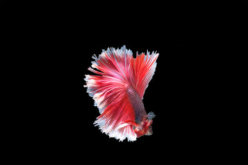 Capture the moving moment of white siamese fighting fish isolated on black background,beauty, Betta fish.