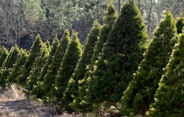 Christmas Tree farm in forest