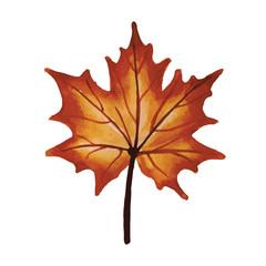 Maple autumn leaf, on a white background.