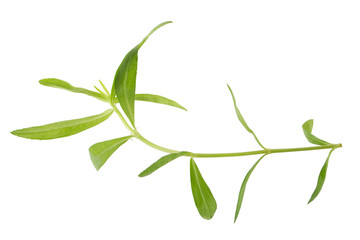 Fresh tarragon herbs, Tarragon herbs close up isolated on white background