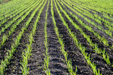 Green wheat planted before winter in a row