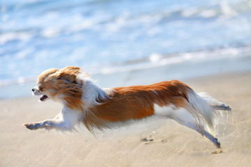 running chihuahua on the beach