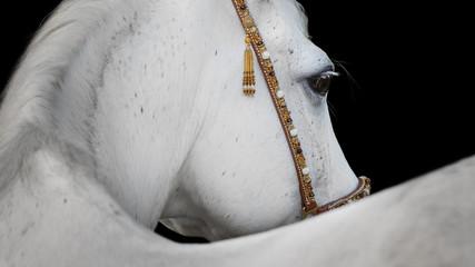 Gray arabian horse closeup on black background isolated