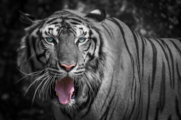 Close up White tiger.