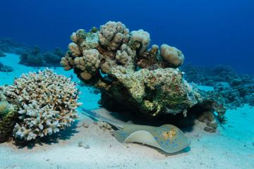 Blaupunktrochen im Korallenriff