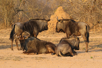Group of wildebeests, called gnus, South Africa