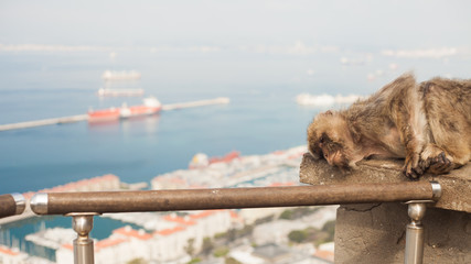 An ape called barbary macaque is taking a nap in Gibraltar