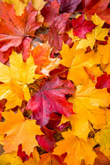 clean bright colored autumn leaves