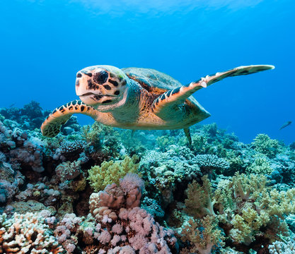 Hawksbill sea turtle on a tropical coral reef
