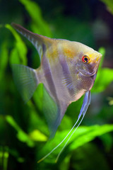 Red-eye Angelfish with silver and black and gold colors in planted tropical aquarium, shallow DOF