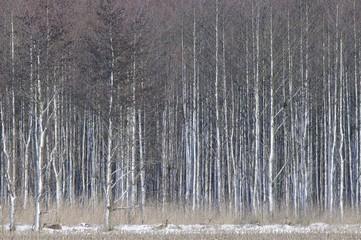 Snowy Alder trees (Alnus glutinosa) and Roe deer (Capreolus capreolus)