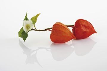 Japanese lantern or Winter cherry (Physalis alkekengi) with flower