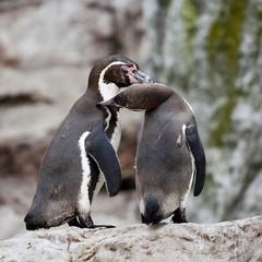Humboldt penguin or Patranca (Spheniscus humboldti)