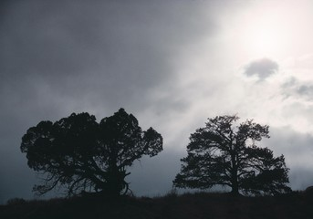 Oaks (Quercus) in the fog, silhouettes