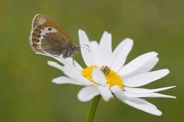Alpine Heath (Coenonympha gardetta) on Daisy (Leucanthemum vulgare)