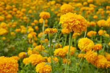 Marigold (Tagetes) flowers in garden
