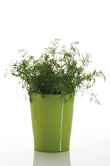 Dill (Anethum graveolens) in a pot