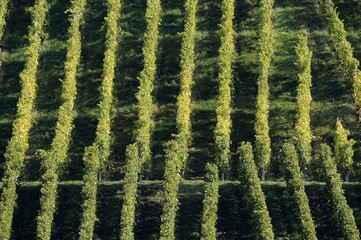 Grapevines, vineyards, Stuttgart, Baden-Wuerttemberg, Germany, Europe