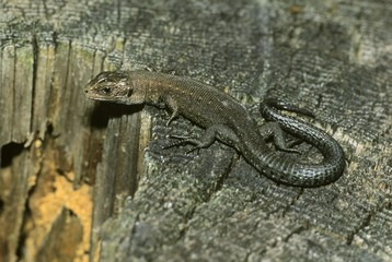 Viviparous lizard (Lacerta vivipara) resting in the sun on a tree log