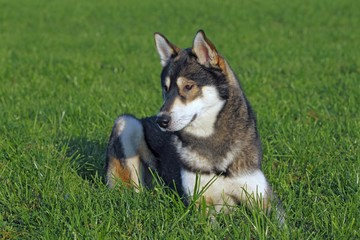 Young Siberian Husky dog (Canis lupus familiaris) male, portrait, domestic dog