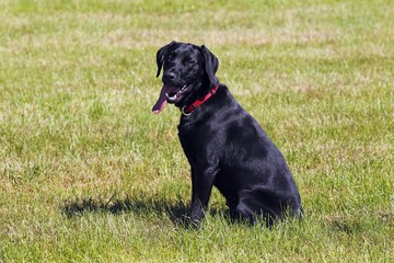 Black Labrador Retriever, young male dog, panting with tongue hanging out, dog sitting, obedience training