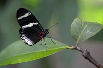 Cydno longwing (Heliconius cydno) on a leaf