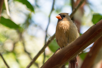 Female Cardinal on Branch