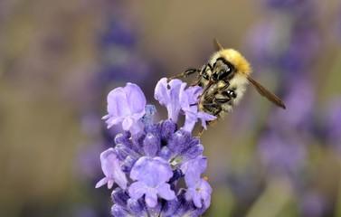 Honey Bee (Apis), feeding, True Lavender (Lavandula angustifolia)