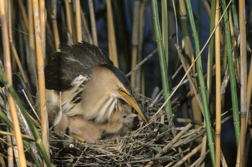 Little bittern (Ixobrychus minutus), female sitting on the nest with fledglings, Hortobagy National Park, Hungary, Europe
