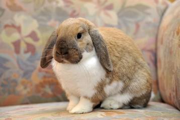 Dwarf lop bunny or rabbit (Oryctolagus cuniculus), sitting on a sofa