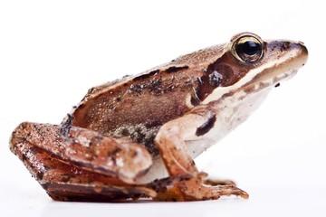 European Common Brown Frog (Rana temporaria)