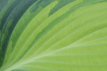 Hosta leaf, Hosta hybrid