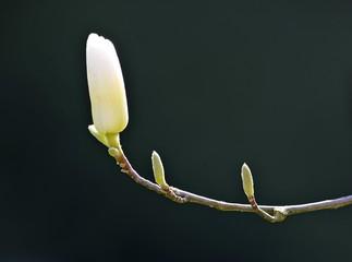 Yulan Magnolia (Magnolia denudata Desr.), Central China