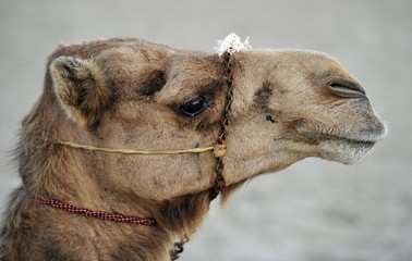 Camel, Qatar, Persian Gulf, Middle East, Asia
