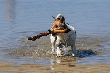 Small dog playing in water, retrieving stick