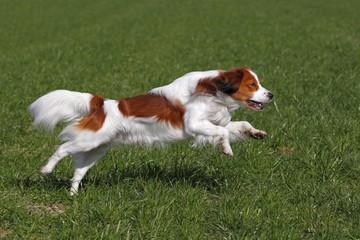 Kooikerhondje or Kooiker Hound (Canis lupus familiaris), young male dog running across a meadow