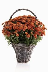 Chrysanthemum s(Chrysanthemum) in a woven basket