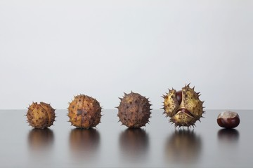 Horse Chestnut (Aesculus hippocastanum), fruit with and without capsule