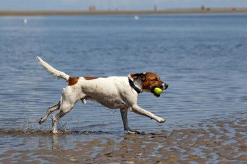 Dog running with ball, male dog, at dog beach