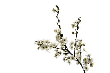 Hawthorn (Crataegus), branch with blossoms