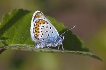 Male Silver-studded Blue (Plebejus argus) (Plebeius argus) butterfly